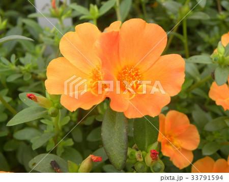 可愛い夏のオレンジ色の花ポーチュラカ 33791594