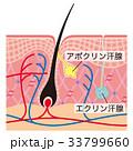 毛根 汗腺 断面図のイラスト 33799660