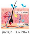 毛根 汗腺 断面図のイラスト 33799671