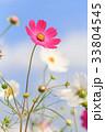 コスモス 花 秋桜の写真 33804545