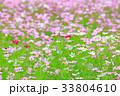 コスモス コスモス畑 秋桜の写真 33804610