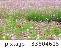 コスモス コスモス畑 秋桜の写真 33804615