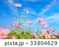 コスモス コスモス畑 秋桜の写真 33804629