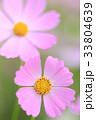 コスモス 花 秋桜の写真 33804639