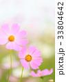 コスモス 花 秋桜の写真 33804642