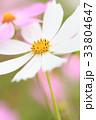 コスモス 花 秋桜の写真 33804647