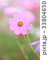 コスモス 花 秋桜の写真 33804650