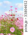 コスモス コスモス畑 秋桜の写真 33804652