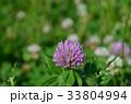 花 紫詰草 赤詰草の写真 33804994