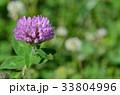 花 紫詰草 赤詰草の写真 33804996