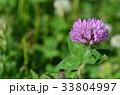 花 紫詰草 赤詰草の写真 33804997