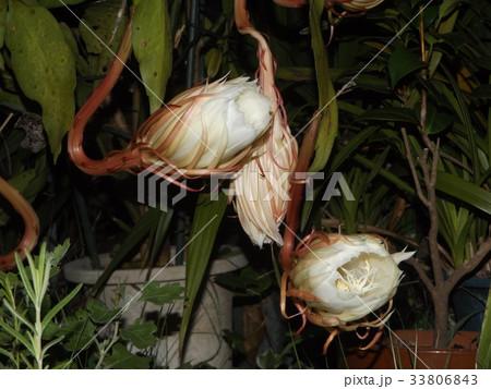 夜大きな白い花を咲かせ夜の内に萎ゲッカビジンの蕾 33806843