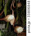 夜大きな白い花を咲かせ夜の内に萎むゲッカビジンの蕾 33806848