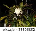夜大きな白い花を咲かせ夜の内に萎むゲッカビジンの花 33806852