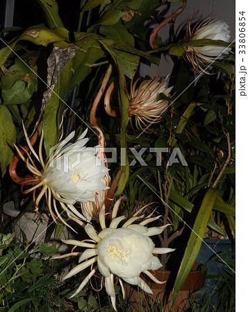 夜大きな白い花を咲かせ夜の内に萎むゲッカビジン花 33806854