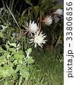 夜大きな白い花を咲かせ夜の内に萎むゲッカビジンの花 33806856