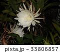 夜大きな白い花を咲かせ夜の内に萎むゲッカビジンの花 33806857
