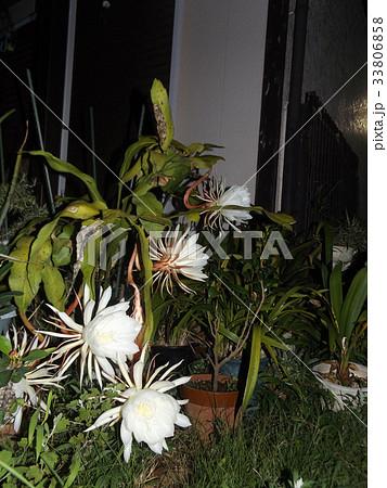 夜大きな白い花を咲かせ夜の内に萎むゲッカビジンの花 33806858