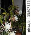 夜大きな白い花を咲かせ夜の内に萎むゲッカビジンの花 33807322