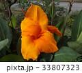 ラッパのようなダイダイ色の大きい花はカンナ 33807323