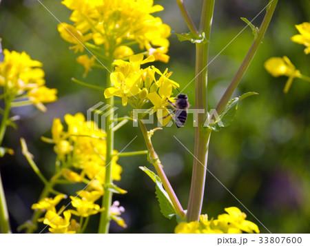 菜の花 33807600