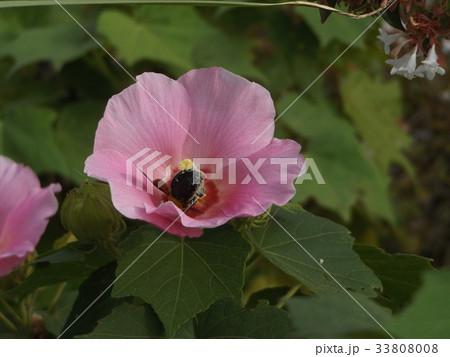 夏の花アメリカフヨウの桃色の花 33808008