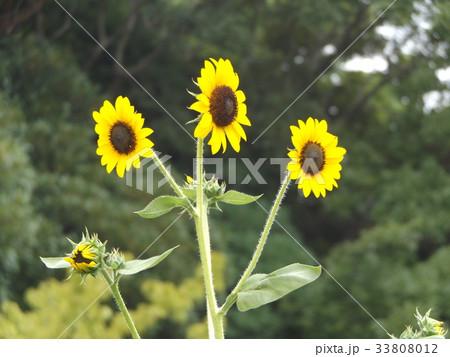 色々な花の咲くヒマワリモネパレットの黄色い花 33808012
