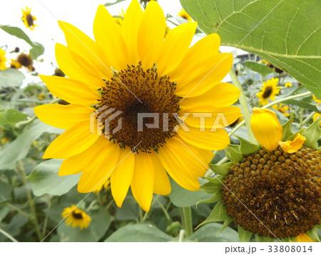 色々な花の咲くヒマワリモネパレットの黄色い花 33808014