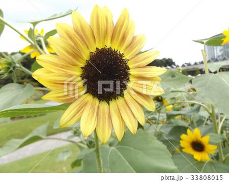 色々な花の咲くヒマワリモネパレットの黄色い花 33808015