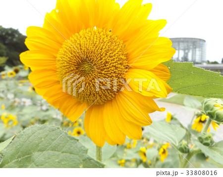 色々な花の咲くヒマワリモネパレットの黄色い花 33808016