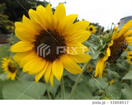 色々な花の咲くヒマワリモネパレットの黄色い花 33808017