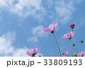 コスモス 33809193