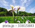 北山公園の花菖蒲 33815883