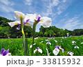北山公園の花菖蒲 33815932