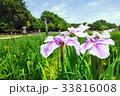 北山公園の花菖蒲 33816008