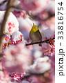 早春 桜 河津桜の写真 33816754