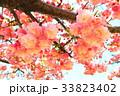 川口五色桜の研究路の八重桜 33823402