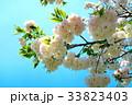川口五色桜の研究路の八重桜 33823403