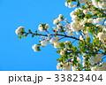 川口五色桜の研究路の八重桜 33823404