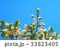 川口五色桜の研究路の八重桜 33823405
