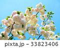 川口五色桜の研究路の八重桜 33823406