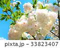 川口五色桜の研究路の八重桜 33823407