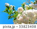 川口五色桜の研究路の八重桜 33823408