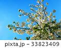 川口五色桜の研究路の八重桜 33823409