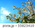 川口五色桜の研究路の八重桜 33823410