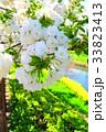 川口五色桜の研究路の八重桜 33823413