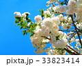 川口五色桜の研究路の八重桜 33823414