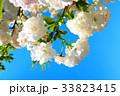 川口五色桜の研究路の八重桜 33823415