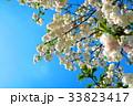 川口五色桜の研究路の八重桜 33823417