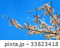 川口五色桜の研究路の八重桜 33823418